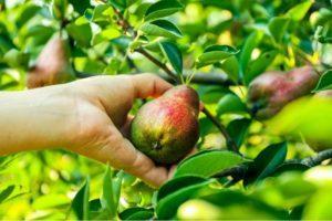 A körtefajta leírása és jellemzői Jelentős, termesztés és gondozás