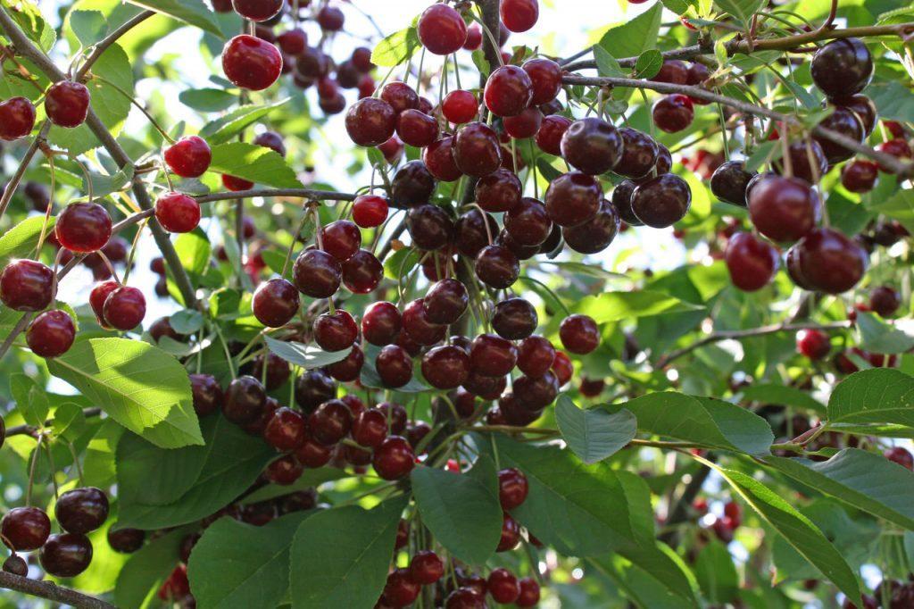 antracit cseresznye
