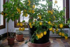 Cómo plantar y cultivar cítricos en casa a partir de semillas