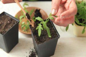 Días propicios para plantar tomates en marzo de 2020