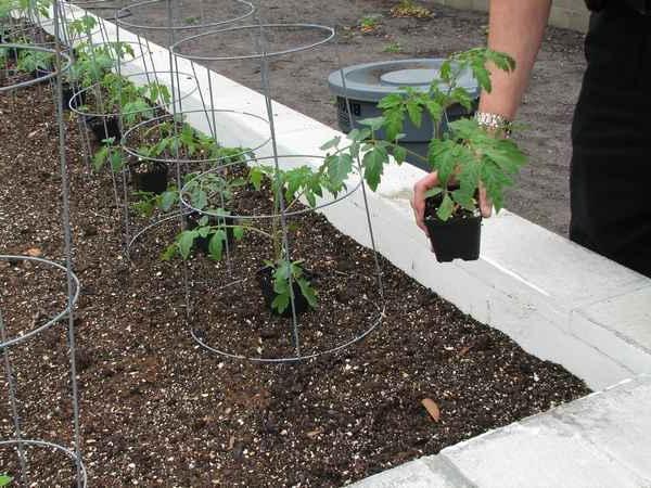 výsadba paradajok