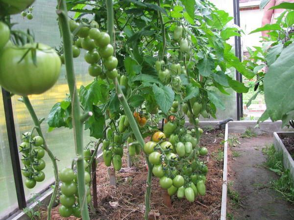 zelené paradajkové kríky v skleníku