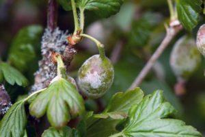 Causas de enfermedades y plagas de la grosella espinosa, tratamiento y control de las mismas.