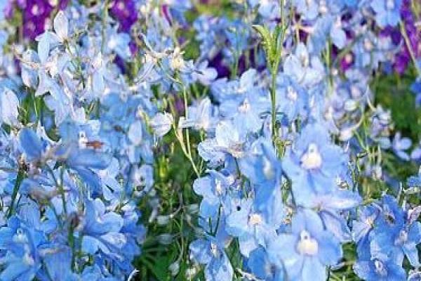 petali blu