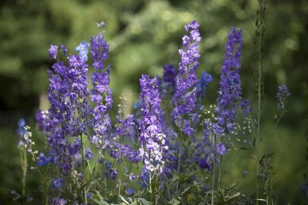 fioritura viola