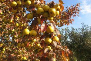 A legjobb körtefajták az Urál számára leírással, a termesztés és gondosság finomságaival