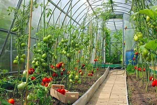 culegerea legumelor
