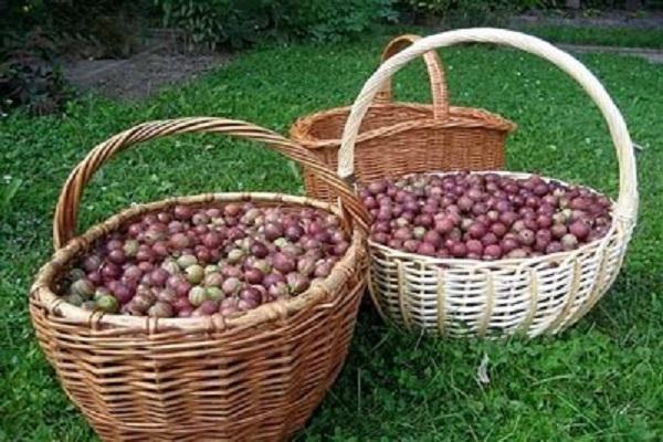 cestas de cosecha