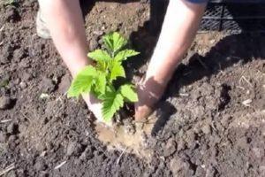A málna ültetése, termesztése és gondozása nyáron a tapasztalt kertészek tanácsa szerint
