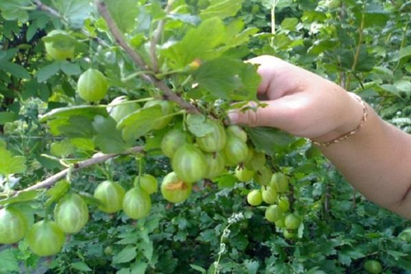 arbustos frutales