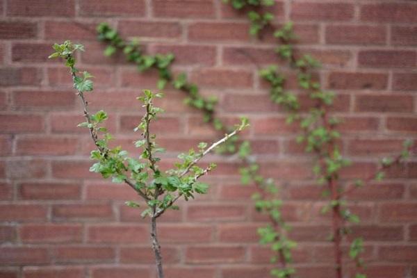 injerto de arbustos