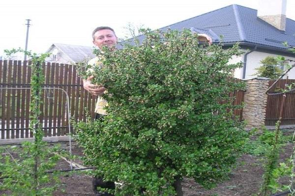 arbusto formado