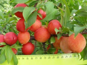 Plantarea și îngrijirea prunelor în Siberia, care soiuri sunt mai bune de cultivat