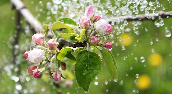 floare de prune