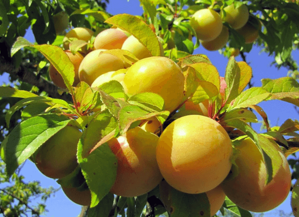 prune de miere