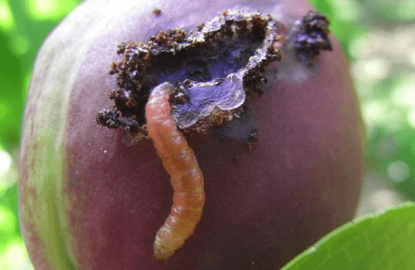 dăunător de prune