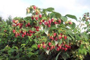 A Tarusa málnafajta és jellemzőinek leírása, termesztése és gondozása