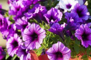 Petunia's planten, kweken en verzorgen in de volle grond