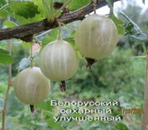 Descripción de la variedad de grosella espinosa azúcar bielorrusa, plantación y cuidado.