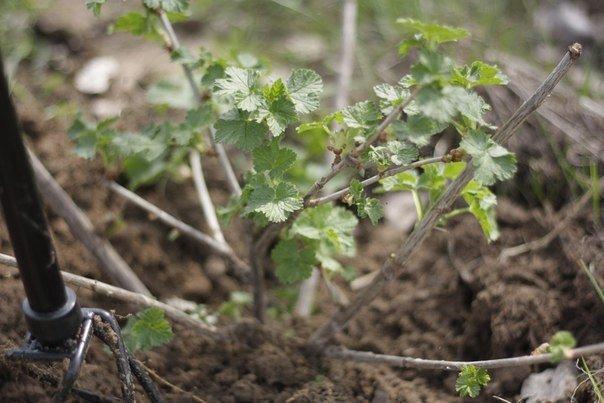 plantar grosellas
