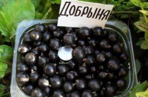 Descrierea și caracteristicile soiului de coacăz Dobrynya, plantare și îngrijire