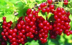 Descripción de la variedad de grosella roja Jonker van Tets, cultivo y cuidado