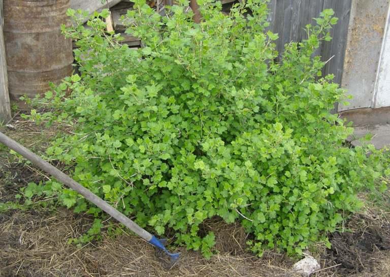 arbusto de grosella espinosa