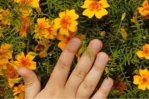Regole per l'uso delle calendule come concime verde e perché tale fertilizzante è utile