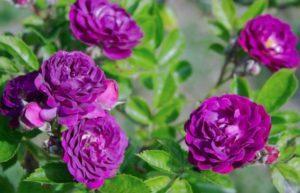 Descripción de variedades de rosas moradas, plantación, cultivo y cuidado.