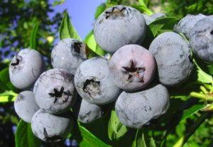 Descripción de la variedad de arándanos Bonificación, plantación, cultivo y cuidado.