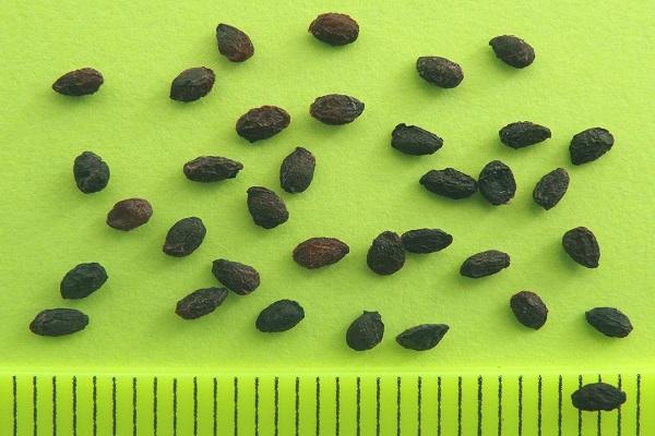 semillas de grosella espinosa