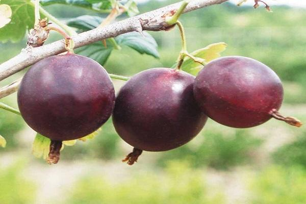 frutos grandes
