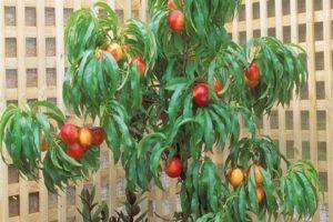 Cum poți crește nectarină dintr-o sămânță acasă?