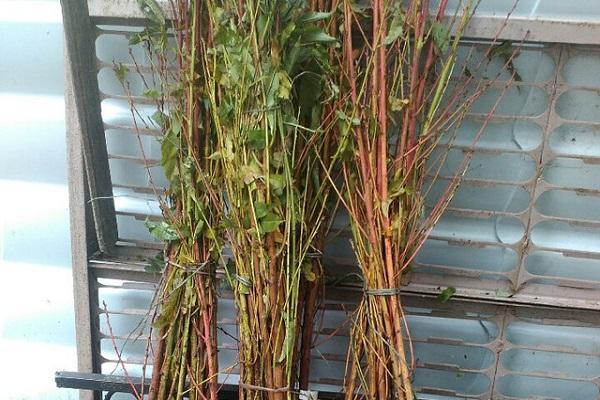 plantar plántulas