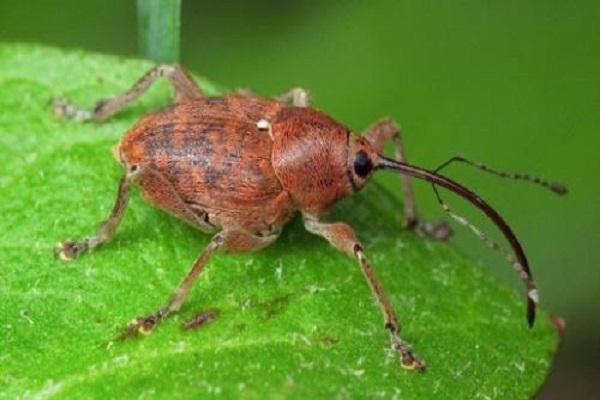 gorgojo del escarabajo