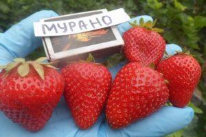 Descrierea și caracteristicile căpșunilor Murano, cultivare și reproducere