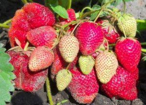 Descripción y características de la variedad de fresa Vicoda, cultivo y reproducción.