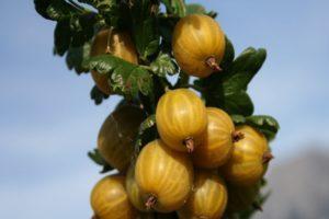 Descripción y características de la variedad de grosella inglesa amarilla, plantación y cuidado.