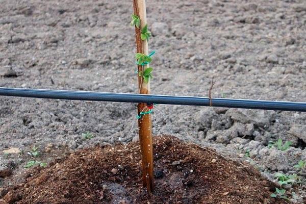tallo plantado