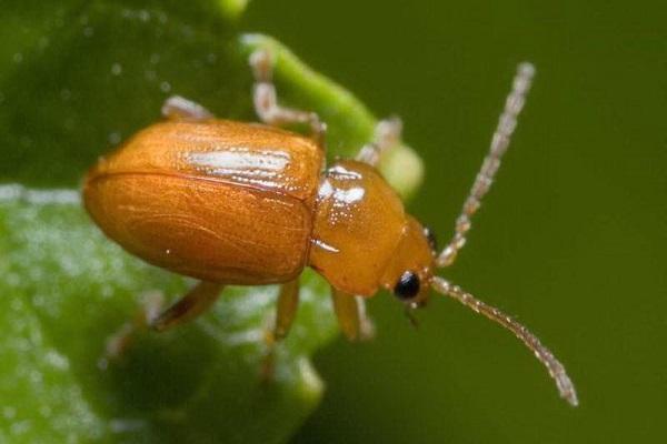 Escarabajo de hoja de nuez