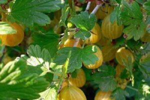 Descripciones y características de las mejores variedades de grosella espinosa para la región de Moscú.