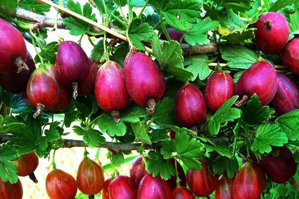 fruta en forma de pera