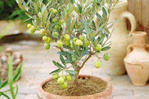 Reproducción, cultivo y cuidado del olivo a domicilio