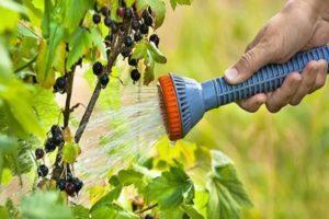 Cuándo y cómo regar los arbustos de grosella correctamente, los secretos de la tecnología agrícola.