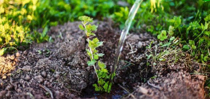 plantarea unui tufiș