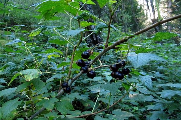 tufiș de fructe