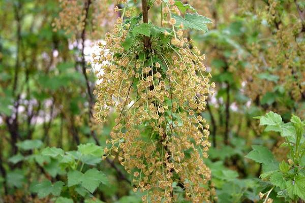 înflorire fără polenizare