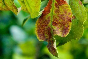 De ce frunzele de prune se ondulează, ce să facem și cum să le prelucrăm