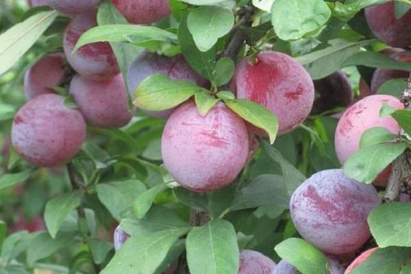 Bomboane de prune