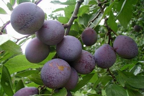 soi de prune